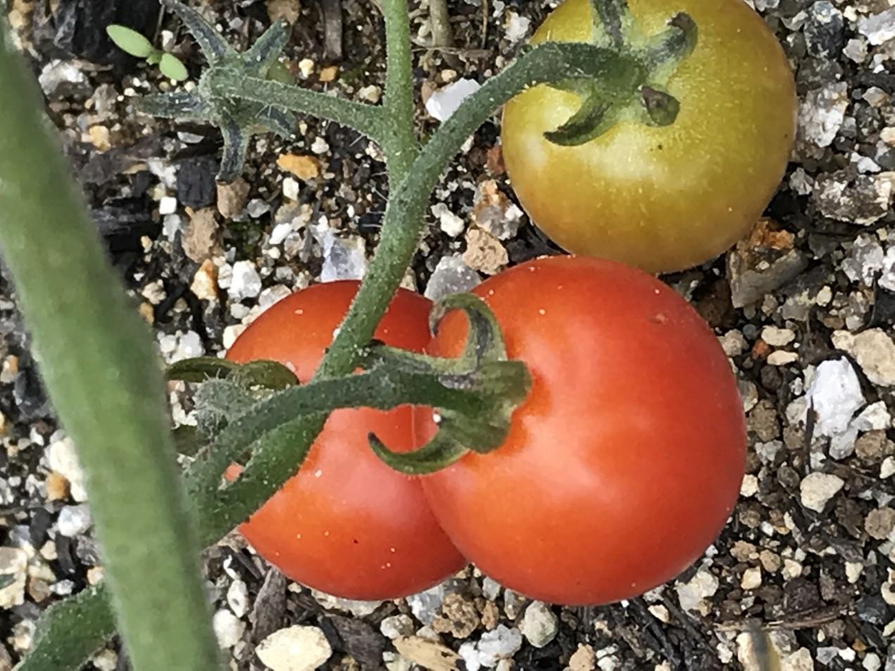 展示場の庭のトマトが赤くなりました